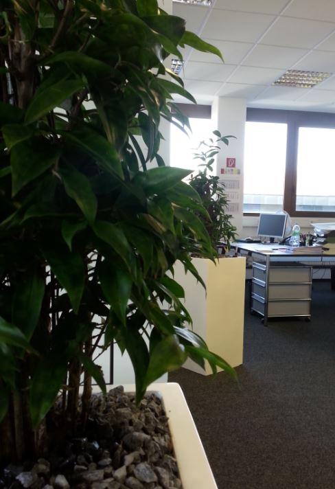 Grünpflanze Dracaena surculosa, runde Blätter grün mit hell grünen Punkten, in einer Fiberstone Vase weiß lackiert. Hydrokultur zur Bürobegrünung von grüneräume Raumbegrünung Stoll