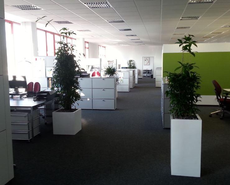 Hydrokultur Grünpflanze Dracaena surculosa in Fiberstone Gefäße white, Bürobegrünung in Pforzheim Stuttgart Karlsruhe von Raumbegrünung Stoll
