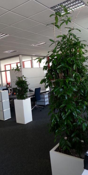 Hydrokulturen in Stuttgart Pforzheim Karlsruhe von grüneräume Raumbegrünung Stoll. Grünpflanze Büropflanze Dracaena surculosa in Fiberstone gefäß white